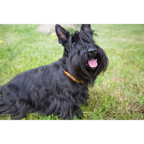 Hunde-Bernsteinkette, Produktbild 4