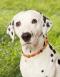 Hunde-Bernsteinkette, Produktbild 2